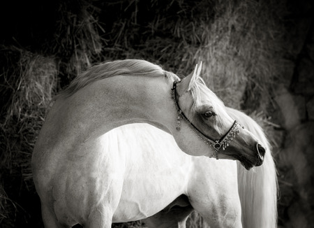jewlery: outstanding graceful white arabian stallion with long neck monochrome portrait Stock Photo