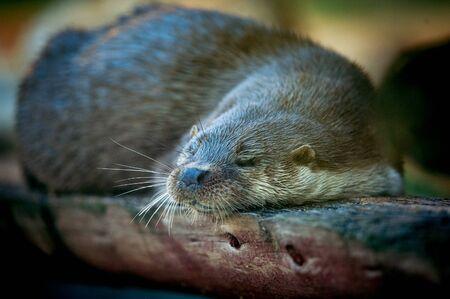 animales silvestres: nutria de dormir Foto de archivo