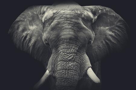 Elephant close up. Monochrome portrait Reklamní fotografie
