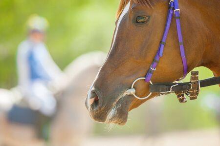 corse di cavalli: testa di cavallo da corsa del primo piano prima di iniziare Archivio Fotografico