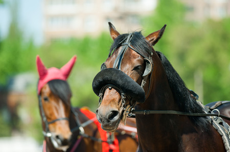horse cart: trotters heads on racetrack before start Stock Photo