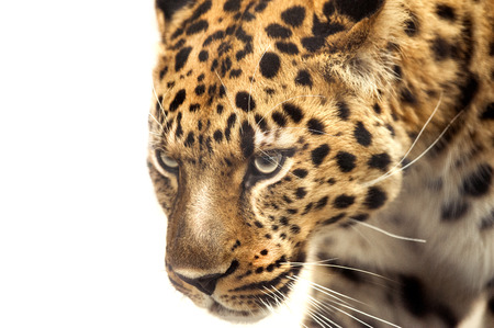 head of leopard isolated on white