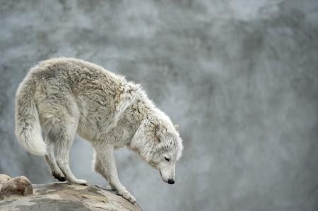 observant: polar tundrian wolf standing on a clief