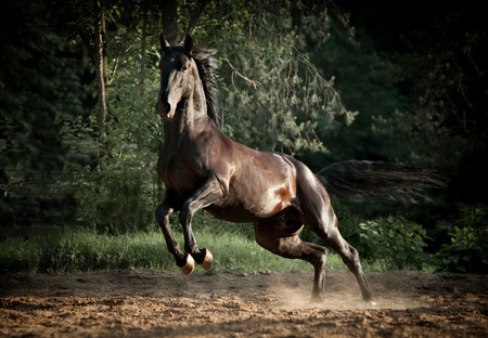 black kladruber stallion plays in dust Banco de Imagens