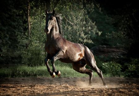 black kladruber stallion plays in dust Banque d'images
