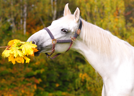 autumn horse: Portrait of beautiful gray horse in autumn forest