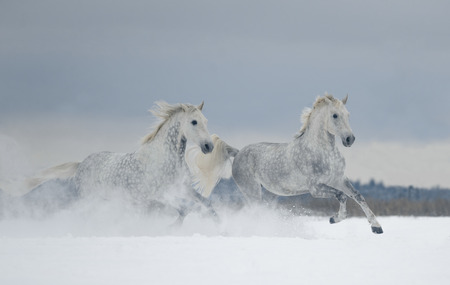 two grey dappled horses runs free in snow covered field