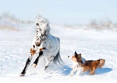appaloosa: pony appaloosa with border collie have fun in snow Stock Photo