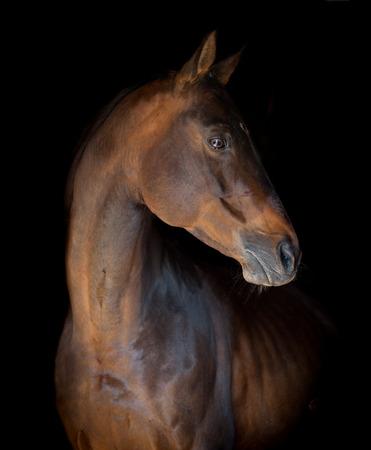 forelock: dark bay horse portrait on black
