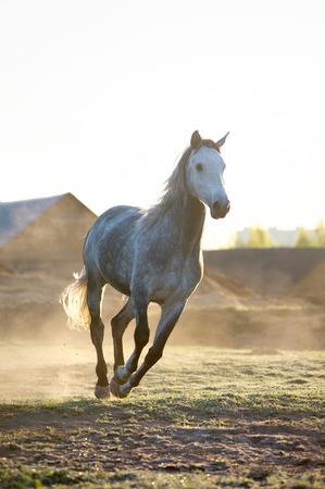 free running: horse runs free in sunrise Stock Photo