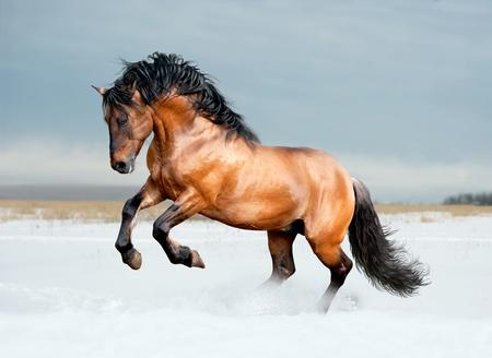 buckskin horse: bay lusitano horse in winter field Stock Photo
