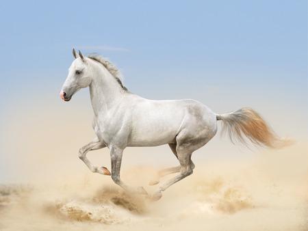 white akhal-teke horse running in desert Imagens