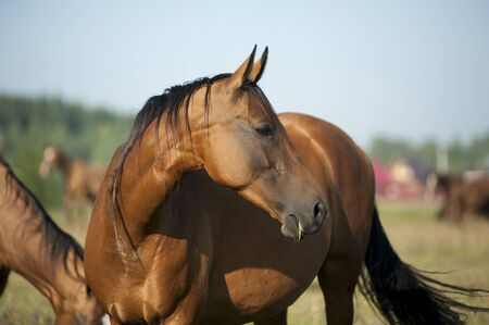brown horse: Beautiful brown horse portrait in summer at the pasture