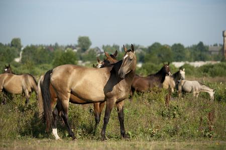 steeplechaser: akhal-teke horses in pasture