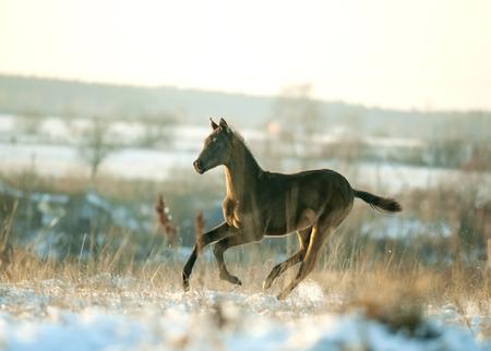 buckskin horse: akhal-teke colt running free in winter