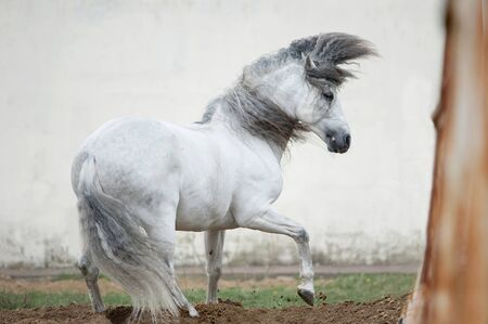 andalusian: free andalusian horse against white background
