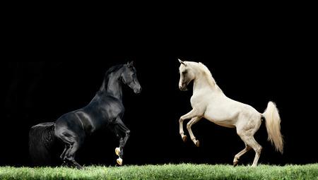 grey horses: two arabian black and grey horses rearing isolated on black Stock Photo