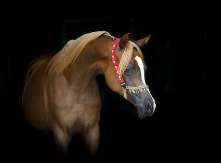 filly: beautiful chestnut arabian filly portrait on black Stock Photo