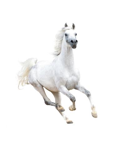 arab beast: white arabian horse isolated on white