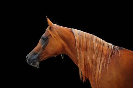 yegua: el castaño retrato yegua árabe en negro