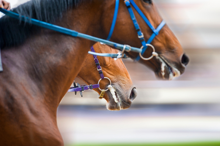 nostrils: horses heads detail on a racetrack Stock Photo