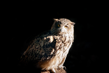 ornitology: owl sitting on a stone on a black