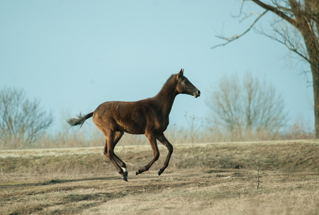 young akhal-teke colt runs free in the spring field