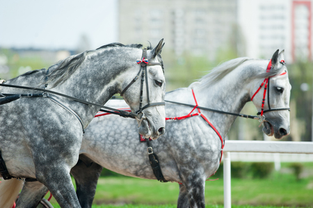 two grey dappled trotter horses walking in harness Stock Photo