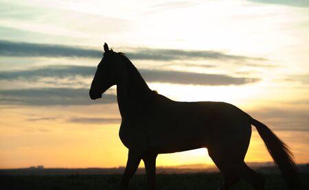 silhouette of akhal-teke horse on sunset