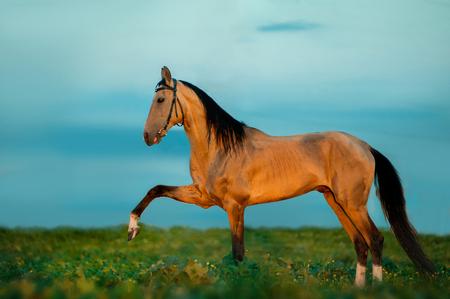 golden buckskin akhal-teke horse on sunset