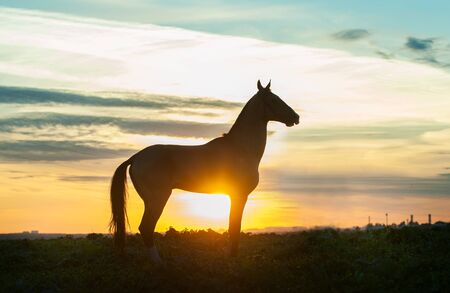 silhouette of akhal-teke horse on sunset