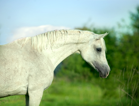white arabian horse portrait on summer background Imagens
