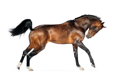 golden bay akhal-teke horse isolated on white Stock Photo