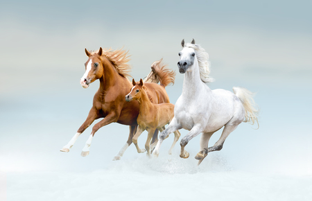 bay lusitano horse in winter field Stock Photo