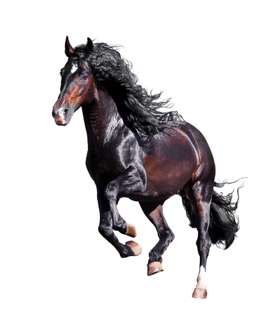 dark bay andalusian stallion runs free isolated on white