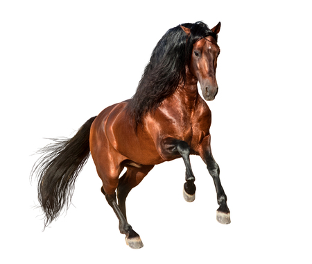 bay andalusian horse galloping isolated on white background Imagens