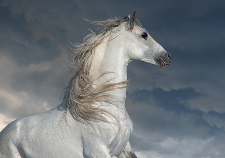white andalusian horse with long main portrait in motion with dark skies behind