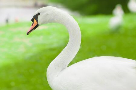 white swan portrait on green blurry background