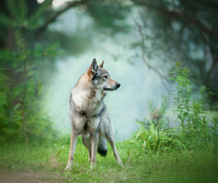 wolfdog standing on the morning weadow 写真素材