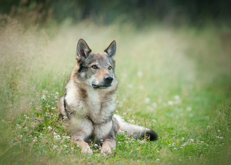wolfdog laying on a grass with blurry background behind