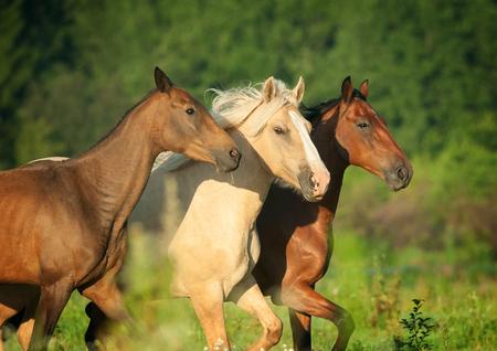 trio of horses portrait runs free in summer meadow