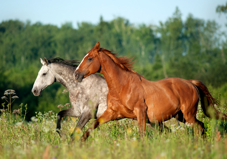 two horses runs free in the field 写真素材