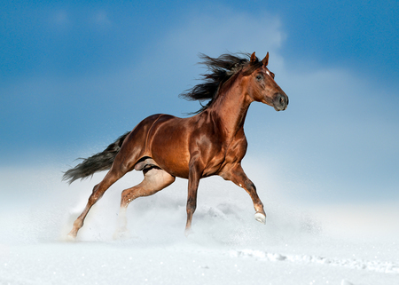 golden brown andalusian horse runs free in the winter field 写真素材