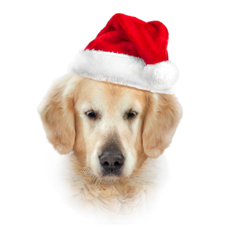 golden retriever head isolated on white in santa's hat