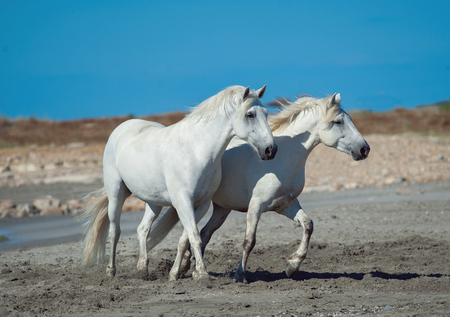 two white camargue horses running on the beach