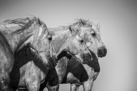 camargue horses monochrome portrait
