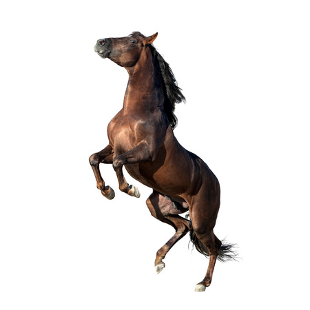 brown andalusian horse isolated on white