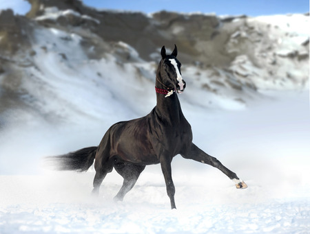 outstanding black akhal-teke stallion with snowy mountains behind