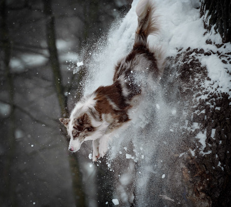 border collie jumps from the tree trunk leaving a trail with a bunch of snow behind