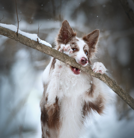 border collie posing near the tree branch winter portrait